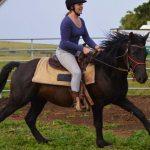 FOR SALE: TRIGGER – Strong Black Quarter Horse x Boerperd Pony Gelding