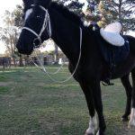 For Sale: VIKING – Beautiful Black Gelding