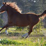 Beautiful Quarter Horse x Boerperd Mare with Passport