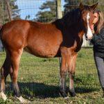 For sale – PERCHERON X QUARTER HORSE X WARMBLOOD FILLY