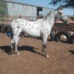 Registered Leopard SP Appaloosa Stallion for sale